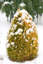 plants native to colorado filips magic moment u0027 arborvitae thuja occidentalis thuja