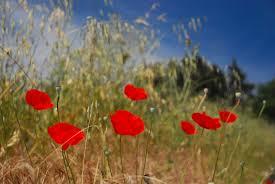 tuscany poppies delightfully italy