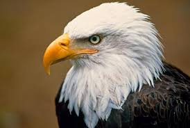 five bald eagle cams to watch now