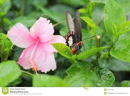 pink hibiscus flower and butterfly in nature stock image image
