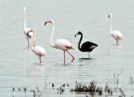 rare black flamingo ruffles feathers in cyprus nbc news