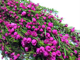 filler flowers boronia pink boronia flowers and fillers flowers by