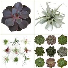Air Plants Save On Unique And Eco Chic Air Plants And Succulents
