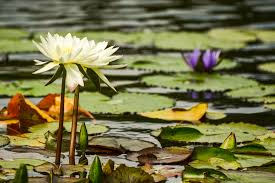 what s the difference between water lilies and water lotus mnn