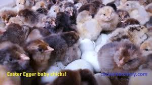 buy easter egger chickens easter egger chicken for sale cackle hatchery