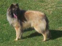 belgian shepherd breeders south africa home page