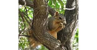 How To Hunt Squirrels In Your Backyard by 5 Squirrel Hunting Tips For Summer Varmint Hunting