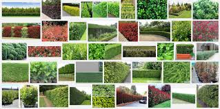 hedging plants budget wholesale nursery enchanting best plants for screening pictures best inspiration