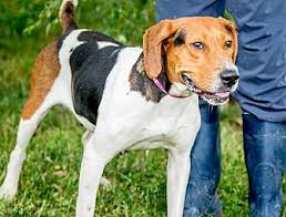 bluetick coonhound rescue illinois treeing walker coonhound mix dog for adoption in martinsville
