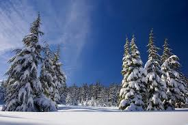 free photo pine nature white trees cold snow winter forest max pixel