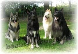belgian shepherd kinds shepherd dog breeds 45 photos