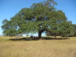 speaking from the ranch mighty live oak trees