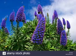 Plants Blooming Pride Of Madeira Tower Of Jewels Echium Candicans Echium Stock