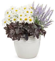 amazing daisies daisy may shasta daisy leucanthemum superbum