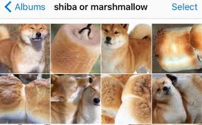 Shiba Meme - this woman created her own viral meme with puppy or bagel smosh