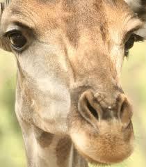 giraffe facts animal facts encyclopedia