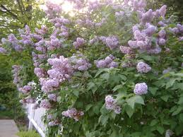 Highly Fragrant Plants 17 Best Tracy Plants Images On Pinterest Garden Plants Patio