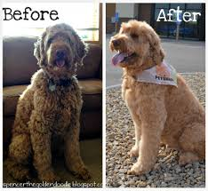 how to cut a goldendoodles hair spencer the goldendoodle per your pet at petsmart