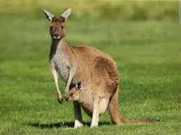 imagenes animales australia national animal of australia 10 638 jpg cb 1462079912