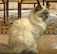 best 25 ragdoll cats for sale ideas on ragdoll