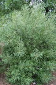 narrow leaved rosemary willow landscape architect s pages
