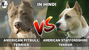 american pitbull terrier doberman mix american pitbull terrier vs american staffordshire terrier