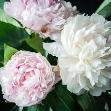 peonies for sale peonies planted shirley temple