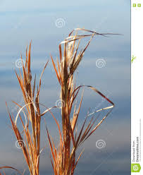 planting native grass seed native grass prairie oklahoma elliott bluestem stock photo