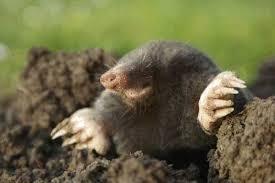raleigh mole u0026 groundhog removal smith