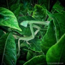 praying mantis wings