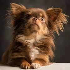 cutes aline hair long hair chihuahua cutest paw