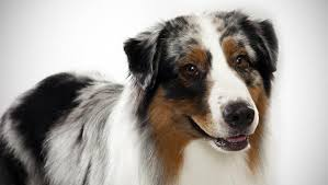 lifespan of australian shepherd australian shepherd dog breed selector animal planet