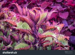 henna coleus ornamental foliage coleus stock photo