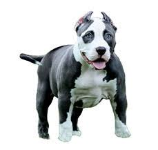 american pitbull terrier ireland pit bull terrier american dog breed information dogspot in