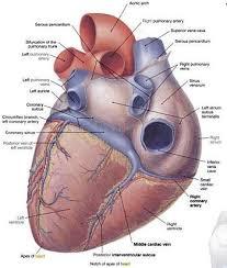 Sheep Heart Anatomy Quiz Lab 8 Vertebrate Circulation And Respiration Openwetware