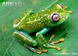 barbour s forest tree frog photos and facts leptopelis