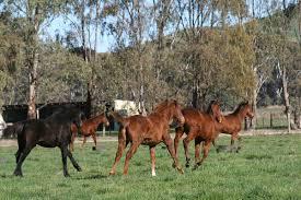 ferrari horse vs mustang horse australia archives live trading news
