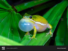 a green tree frog hyla cinerea calling to attract