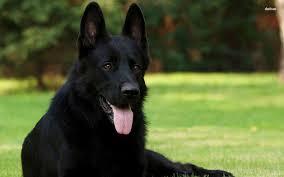 belgian sheepdog black black german shepherd dog picture