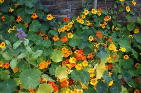 plante vivace soleil capucine semer et planter u2013 ooreka
