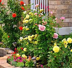 Fertilizer For Flowering Shrubs - the well fed garden feeding roses
