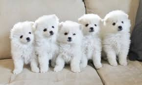 american eskimo dog toy for sale american eskimo top 9 things you didn u0027t care to know u2013 american