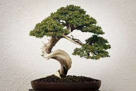 bonsai tree meaning bonsai tree in the living room tips and