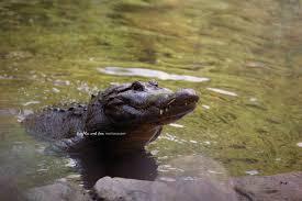 alligator smile photo gator photography florida reptile swamp alligator smile photo gator photography florida reptile swamp river lake coastal decor
