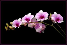 pictures of orchids orchids explore orchids on deviantart