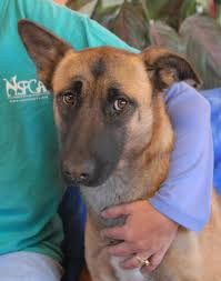 belgian sheepdog rescue trust facebook nevada spca animal rescue november 2012