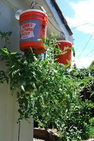 Tomato Plant Wilt Disease - tomato wilt reasons for tomato plant leaves wilting