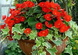 flower plants best indoor flower plants kerala latest news kerala breaking