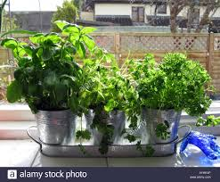 Window Sill Herb Garden by Herbs On Kitchen Window Sill Stock Photo Royalty Free Image