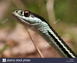 western ribbon western ribbon snake thamnophis proximus stock photo 31819710